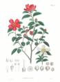 Camellia sasanqua SZ83.png
