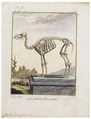 Camelus dromedarius - skelet - 1700-1880 - Print - Iconographia Zoologica - Special Collections University of Amsterdam - UBA01 IZ21600069.tif