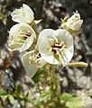 Camissonia claviformis flowers 2.jpg