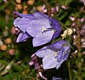 Campanula rotundifolia (Harebell) - Flickr - S. Rae.jpg
