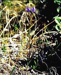 Campanula uniflora 2001-07-15