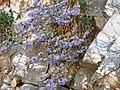 Campanula versicolor - panoramio.jpg