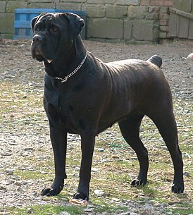 кане корсо фото собаки и характеристика