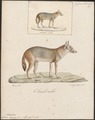 Canis aureus - 1818-1842 - Print - Iconographia Zoologica - Special Collections University of Amsterdam - UBA01 IZ22200047.tif