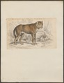 Canis lupus - 1833-1866 - Print - Iconographia Zoologica - Special Collections University of Amsterdam - UBA01 IZ22200341.tif