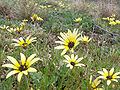 Capeweed flowers.jpg