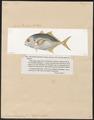 Caranx carangus - 1700-1880 - Print - Iconographia Zoologica - Special Collections University of Amsterdam - UBA01 IZ13500387.tif