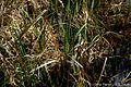 Carex-pendula2.jpg