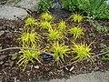 Carex elata 'Aurea' (01).jpg