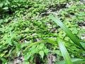 Carex ischnostachya.jpg