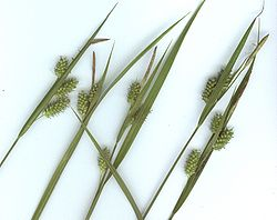 Carex pallescens.jpg