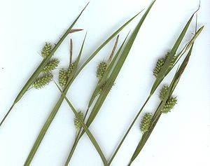 Bleiche Segge (Carex pallescens)