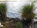 Carex paniculata plant (09).jpg