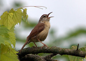 Carolina wren - Carolina wren on Rutland Township Forest Preserve