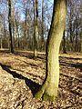Carpinus betulus sl2.jpg