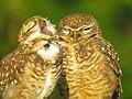 Casal de coruja-buraqueira (Athene cunicularia).jpg