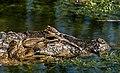 Casca-grossa.jpg
