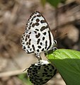 Castalius rosimon - Common Pierrot mating at Mayyil 30.jpg