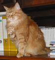 Cat-MaineCoon-BeckoningAshanti.png