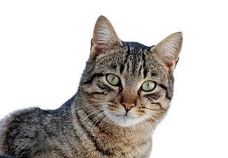 Felidae - Domestic cat