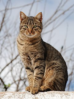 Tabby cat domestic cat with a coat which has stripes, dots, lines etc.