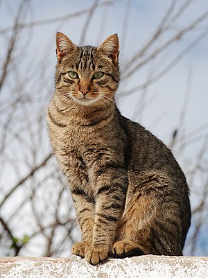 English: Young male tabby cat, Portugal. Franç...
