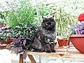 Cat in greenhouse (284812343).jpg