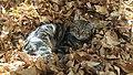 Cat in leafs.jpg