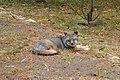 Catalina Island Fox (Urocyon littoralis catalinae) Tachi resting.jpg