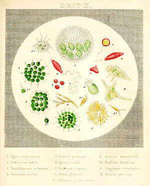 """Agnes Catlow - Illustration of 13 microorganisms viewed under a microscope, from Agnes Catlow's 1851 book Drops of Water. Plate signed in Latin """"Painted and lithographed by Achilles""""."""
