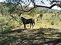 Cavalo bonito - Coudelaria - panoramio.jpg