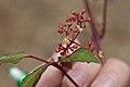 Cayratia formosana (WilsonKao) 002.jpg