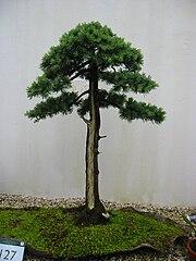 Cedar bonsai, Birmingham Botanical Gardens.jpg