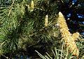 Cedar male cones shedding pollen.JPG