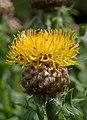 Centaurea macrocephala cropped-2832.jpg