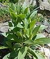 Centaurea montana 2017-04-20 8398.jpg
