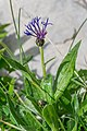 Centaurea montana in Avoriaz (1).jpg