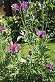 Centaurea scabiosa L. s.l. (Asteraceae)-2F.jpg
