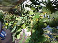 Ceratonia siliqua (DITSL).JPG
