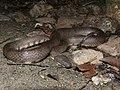 Cerberus rynchops Andamans.jpg