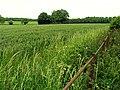 Cereal Crop (Wheat) near Upper Basildon - geograph.org.uk - 18558.jpg