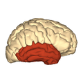 Cerebrum - temporal lobe - lateral view.png