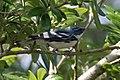 Cerulean Warbler (male) Anahuac NWR-Jackson Prairie Woodlot TX 2018-04-24 14-43-11-2 (41157337395).jpg
