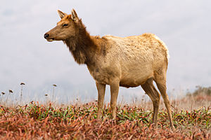 Tule elk - Tule elk bull at Merced National Wildlife Refuge, courtesy of Bill Leikam