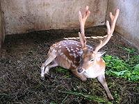 野生的台灣梅花鹿已經絕跡