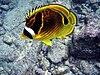 প্রজাপতি মাছ