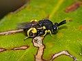 Chalcidid Wasp (Brachymeria femorata) (14312855209).jpg