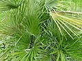 Chamaerops humilis jardin des plantes.jpg