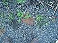 Chamaesyce maculata (L.) Small (AM AK296382).jpg
