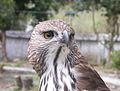 Changeable hawk-eagle1.jpg